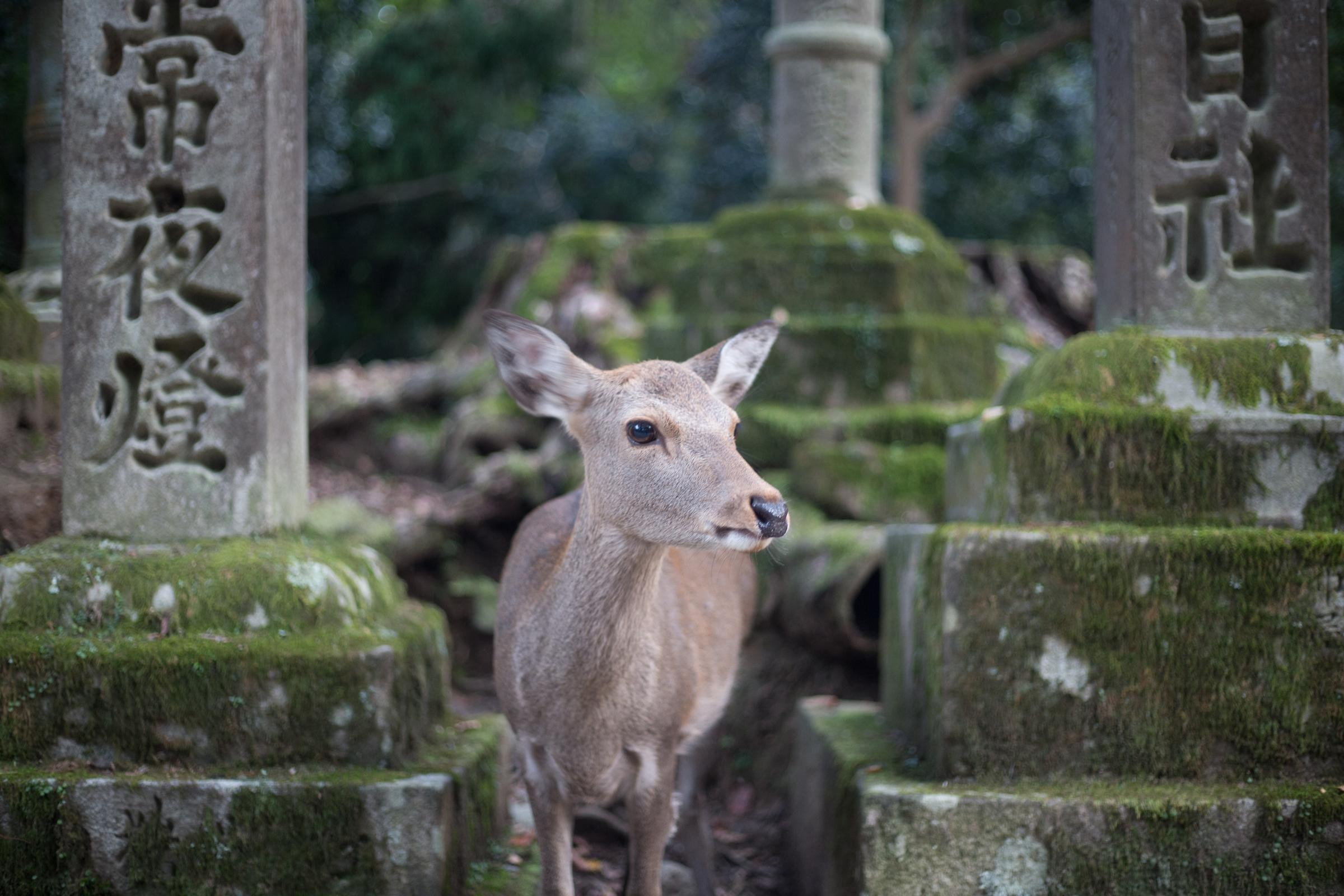 Nara Tours from Kyoto