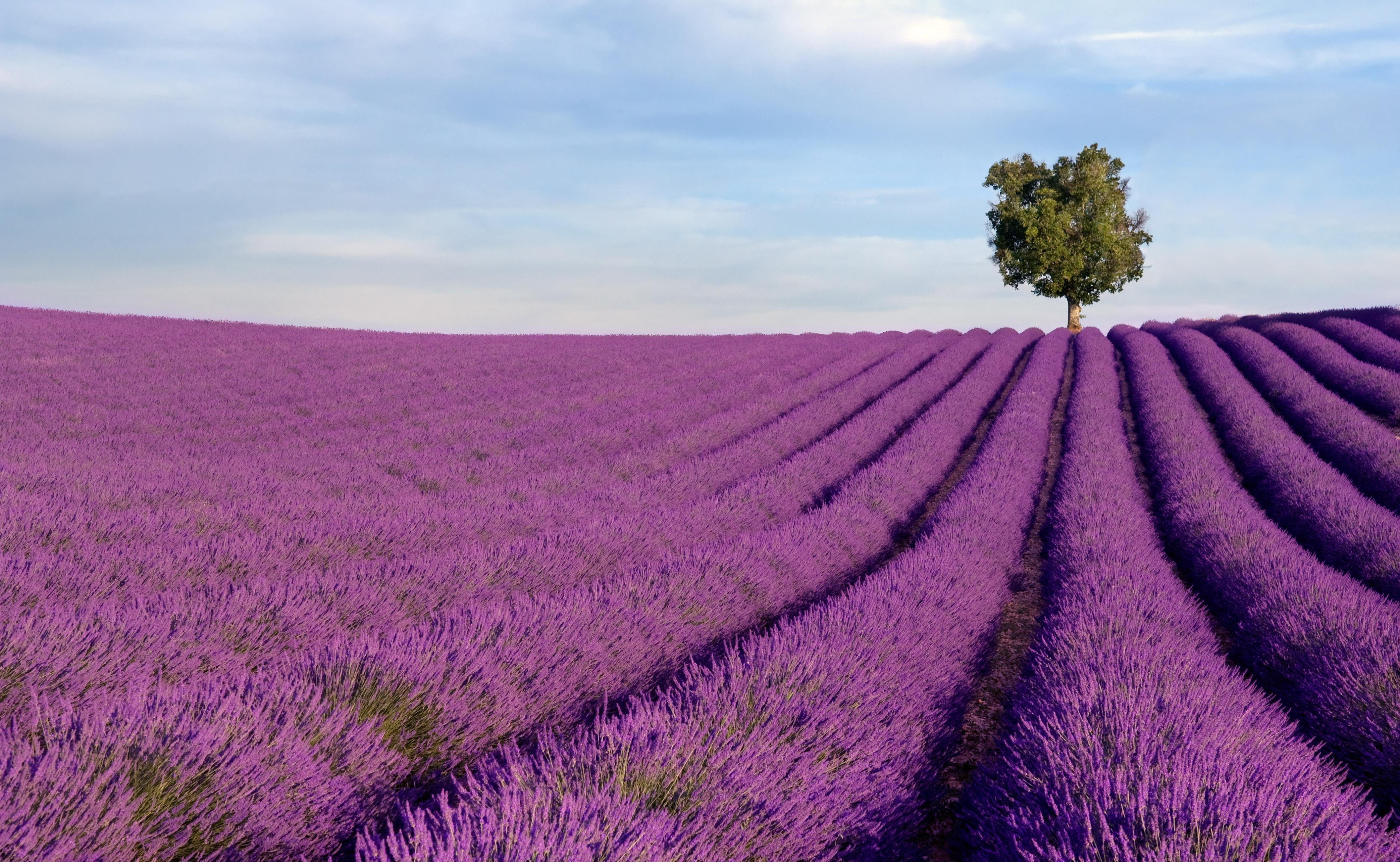 How to Visit the Lavender Fields in Provence