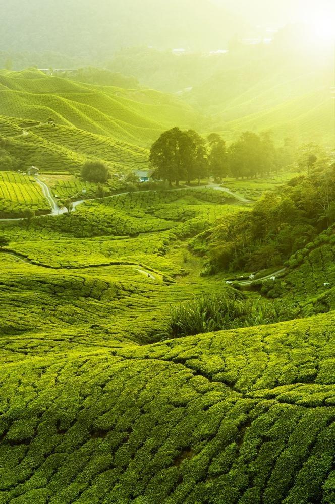 Tea Plantation Tours from Kuala Lumpur