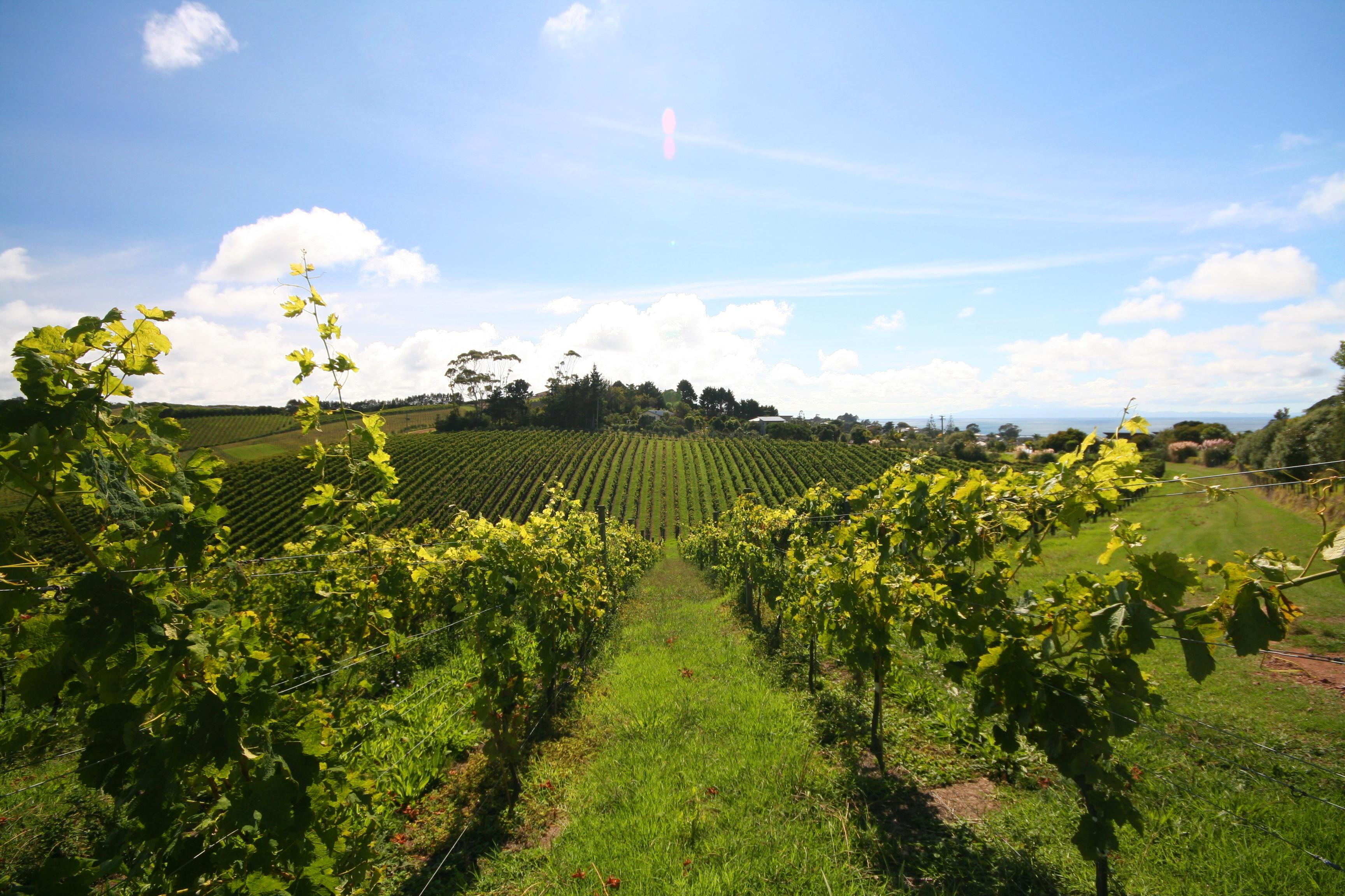 How to Experience New Zealand Wine Harvest Season in Auckland