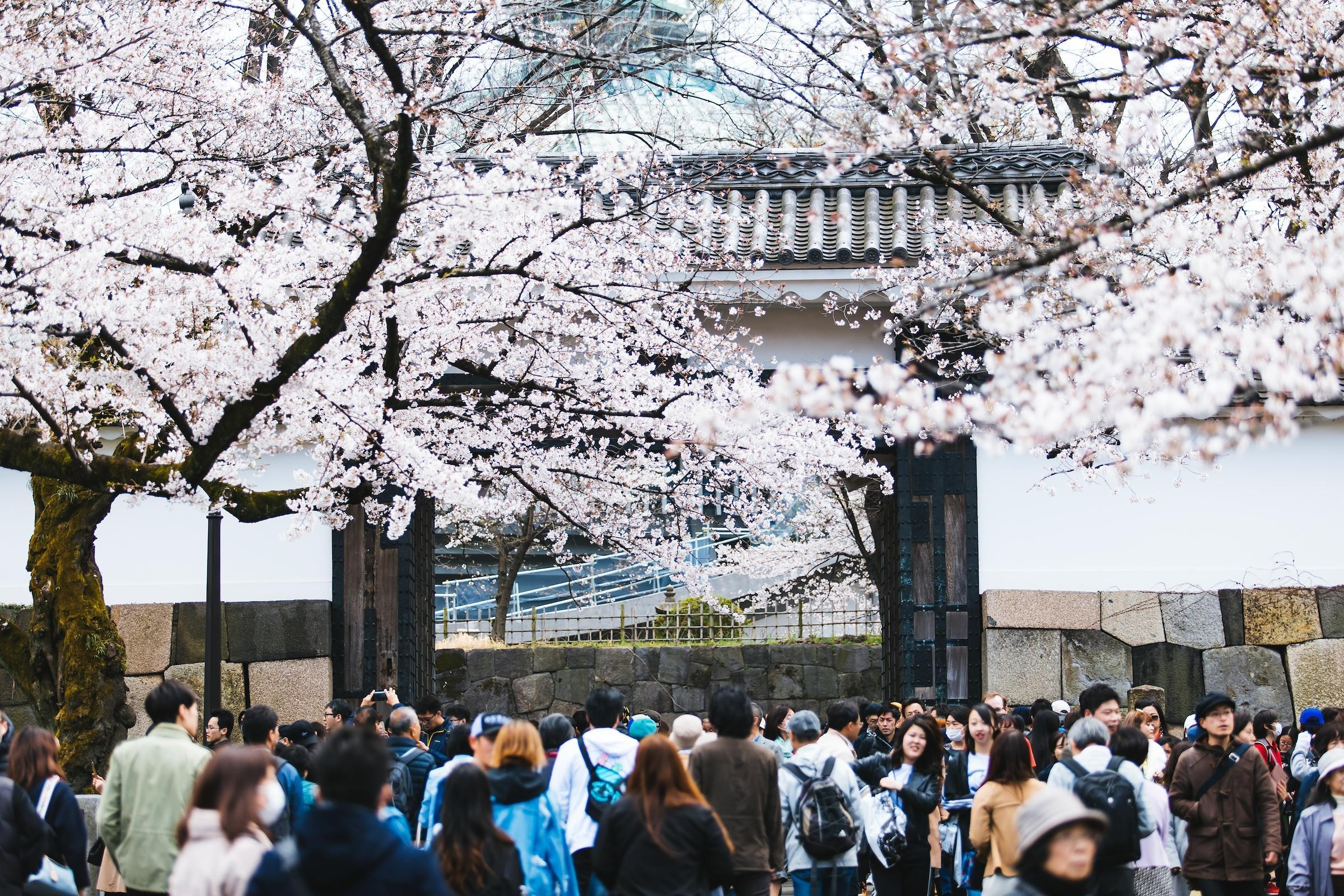 How to Experience Cherry Blossom Season in Kyoto