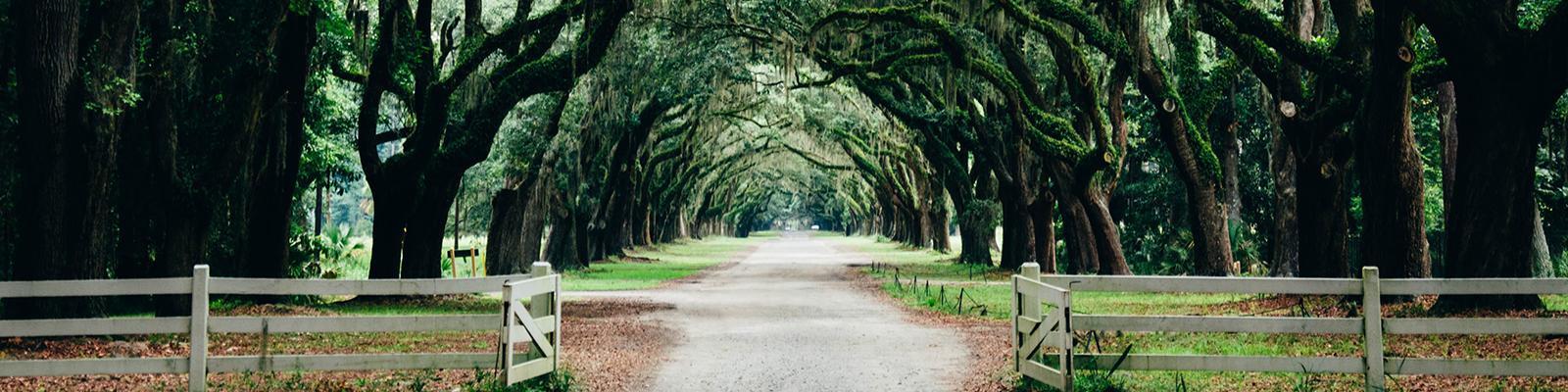Spanish moss trees in Savannah