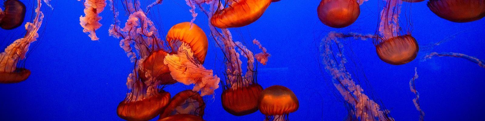 Jellyfish up-close at the Monterey Bay Aquarium in Monterey, California