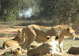 Half-Day Lion Park Safari from Johannesburg