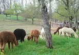 Alpaca Farm Tour at Apple Hill Farm