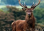 Wild Deer viewing safari from Letterfrack, Connemara