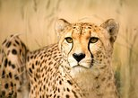 Cheetah and Penguin colony and wine tour via the Whale Route