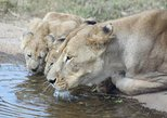 Lion and Safari Park Half-Day Tour from Johannesburg and Pretoria
