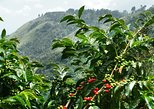 Blue Mountain Coffee Tour