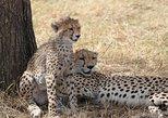 Cheetah Safaris -Kenya