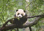 Chengdu One-Day Private Tour with Panda Visit
