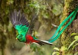 Central America - Costa Rica: Special Cloud Forest birdwatching Tour
