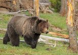 Yellowstone Custom Wildlife and Nature Tour