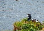 Lake Mývatn Birdwatching