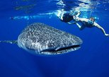 All-Inclusive Sailing Cruise & Swim with Whale Sharks Tour from Los Cabos