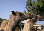 Larnaca Market and Camel Park Excursion from Larnaca