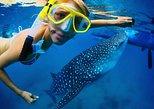 Snorkel a Whale Shark