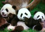 non touristy things to do in beijing | visit the pandas at beijing zoo