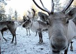 Snowmobile Safari to Reindeer Farm from Luosto Including Reindeer Sleigh Ride