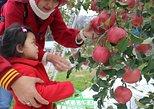 Apple picking experience in Iiyama, Nagano