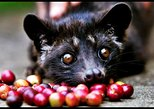 Best Of Bali Luwak Coffee Plantation Tours