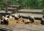 Full Day Panda and Leshan Giant Buddha Group Tour
