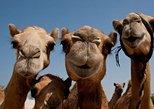 Sunset Camel Ride including BBQ Dinner From Ras Al Khaimah