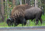 Private Full-Day Grand Teton Wildlife 4WD Tour from Jackson Hole