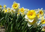 Private Tulip tour (Only in Tulip season)