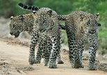 Special Leopard Safari Tour - Yala (Shared Option)