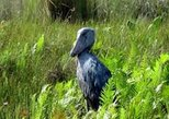 1 Day Shoebill Stork Tracking