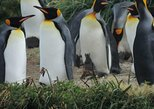 FULL DAY KING PENGUIN COLONY (regular tours)