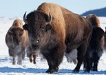 "(Private) ""Best of Jackson Hole"" Wildlife Safari - Winter"