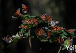 Monarch Butterfly Tour