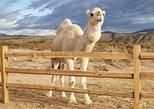 Camel Encounter - Farm Tour