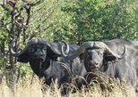 11 Days Buffalo Safari