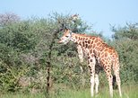 10 Day Uganda Wildlife Viewing, Chimpanzee Trekking and Gorilla Trekking Safari