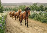 1.5-Hour Icelandic Horse and Stables Experience in Reykjavik