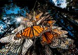 MONARCH BUTTERFLY SANCTUARY AND COSMOVITRAL PRIVATE TOUR from Mexico City