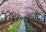 Jinhae Cherry Blossom Festival (Departing From Seoul)