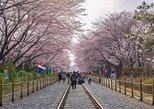 Day Tour to Jinhae Cherry Blossom Festival - Depart from Busan