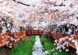 Spring 5 days Cherry Blossom Jeju&Busan&Jinhae&Gyeongju on 31 Mar to 10 Apr