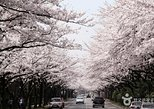 Spring 7 days Cherry Blossom Jeju&Busan&Gyeongju&Seoul on 31 Mar to 10 Apr