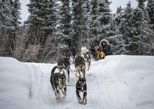 4 hour Dog Sledding and Kennel Tour (Includes transportations & Dog sledding)