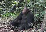 1 day chimpanzee tracking in budongo forest and kaniyo pabidi