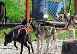 Skagway Shore Excursion: Yukon Dog Sledding and Sightseeing Tour