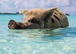 Swimming Pigs, Freeport, BAHAMAS