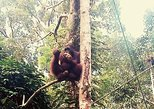 Semenggoh Orangutan with Rainforest Kayaking from Kuching