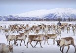Lasso Throwing, Reindeer visit, and Sami Culture Including Lunch from Tromso