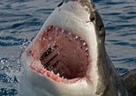 Great White Shark Cage Diving Mosselbay